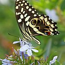 Citrus Swallowtail butterfly side-on by jozi1