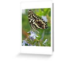 Citrus Swallowtail butterfly side-on Greeting Card