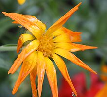 Calendual/Marigold - Bedraggled by JRHPhotography