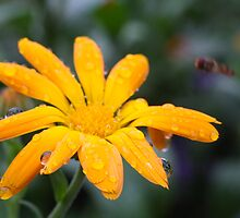 Calendual/Marigold 3 by JRHPhotography