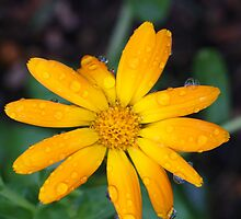 Calendual/Marigold 5 by JRHPhotography