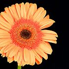 Orange Gerbera by Mihaela Limberea