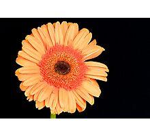 Orange Gerbera Photographic Print