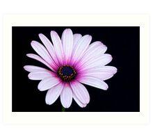 Pink Anemone Hortensis Art Print