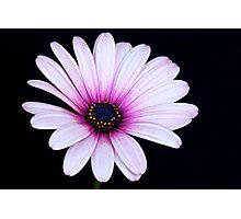 Pink Anemone Hortensis Photographic Print