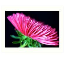 Pink Aster Art Print