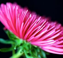 Pink Aster by Mihaela Limberea