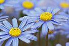 daisy by Teresa Pople