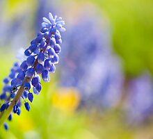 One blue Muscari Mill flower  by Arletta Cwalina