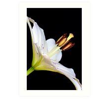 White Lily II Art Print