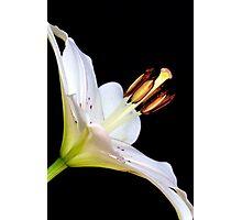 White Lily II Photographic Print