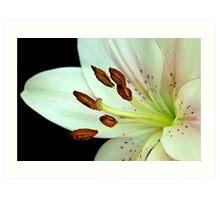 White Lily III Art Print