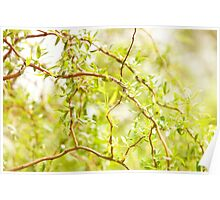 Willow Salix Alba tree detail Poster