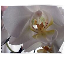 Transparences on a Phalaenopsis Poster