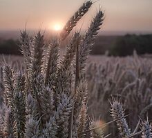 Wheat Field by cameraimagery