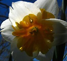 Narcissus in shadow by MarianBendeth
