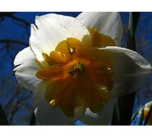 Narcissus in shadow Photographic Print