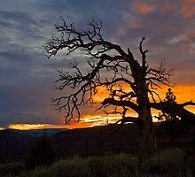 Broken Ponderosa Sunset by Kim Barton