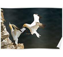 Gannet Fight Poster