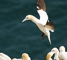 Gannet Landing #1 by Chris West