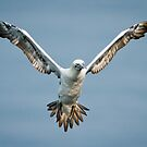 Gannet in Flight #3 by Chris West