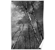 Birches Leaning BW Poster