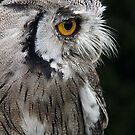 Scops Owl by Country  Pursuits