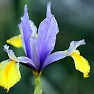 Iris in Blue &amp; Yellow by Frank Olsen