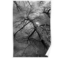 Stately Tree 2 BW Poster