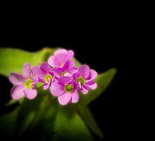 Pink Shamrock by BoB Davis