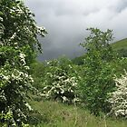 Hawthorn and stormy sky by Jane Corey