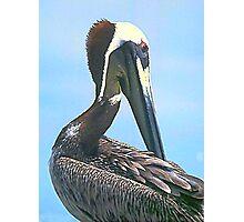 Brown Pelican Portrait Photographic Print