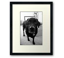 Nico (black lab) Framed Print