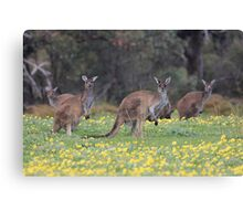 kangaroos on yellow flowers Canvas Print
