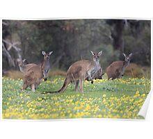 kangaroos on yellow flowers Poster