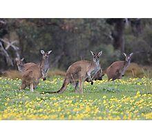 kangaroos on yellow flowers Photographic Print