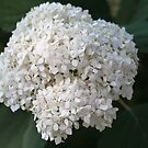 White Hydrangea I by PhotosByHealy