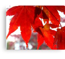 Front Yard Tree - Japanese Maple     ^ Canvas Print