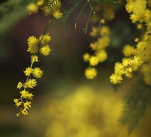 Spring Wattle by yolanda