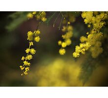 Spring Wattle Photographic Print