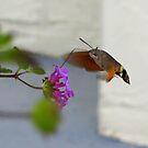 Hummingbird Moth - Dubrovnik by Honor Kyne