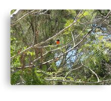 The male and female Robin Red Breast Canvas Print