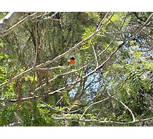 The male and female Robin Red Breast Photographic Print