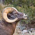Bighorn Ram 2 by Kim Barton