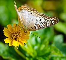 Bringing the Sunshine...a Butterfly by Christine Kapler