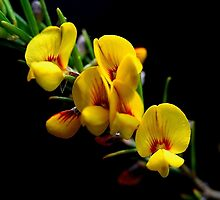 Aotus ericoides by andrachne
