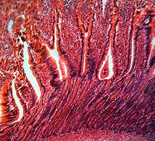 A section trough cells of a small intestine under the microscope. by Zosimus