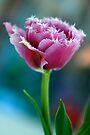 Ruffled Parrot Tulip by Renee Hubbard Fine Art Photography