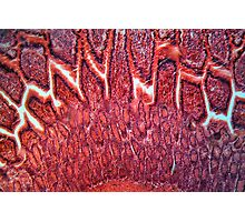 Intestine Cells under the Microscope Photographic Print