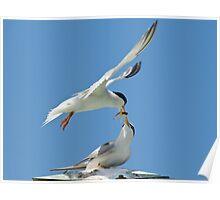 Least Terns Feeding Poster